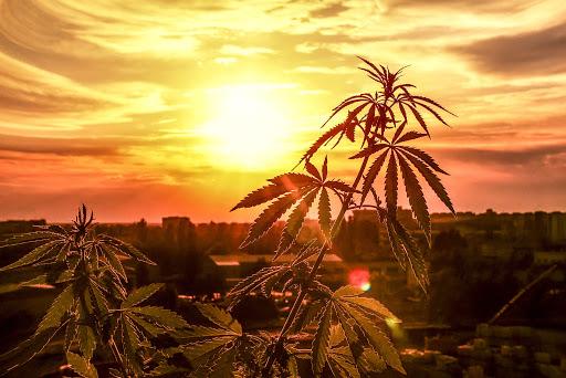 cannabis sunset